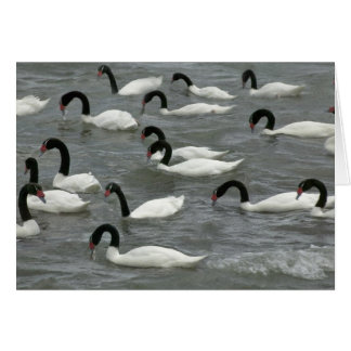 Black-necked swans (Cygnus melancoryphus) on Card