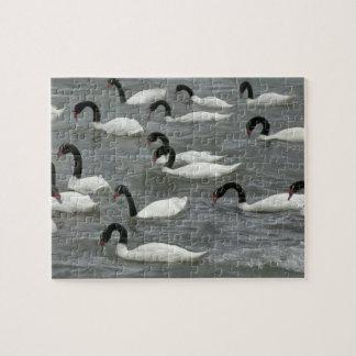 Black-necked swans (Cygnus melancoryphus) on Jigsaw Puzzle