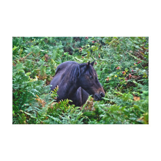 Black New Forest Pony of Hampshire England Canvas Prints