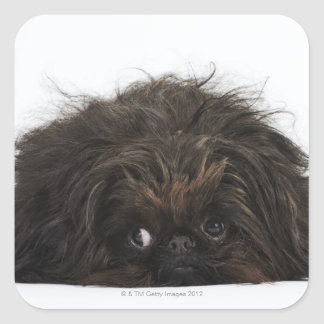 Black Pekingese dog lying down Square Sticker
