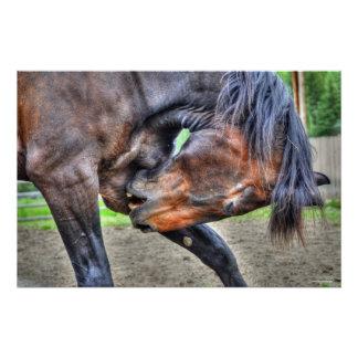 Black Percheron Gelding Horse Preening Photo