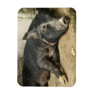 Black Pig Resting Rectangular Photo Magnet