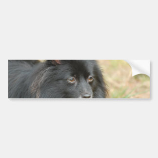 Black Pomeranian  Bumper Sticker