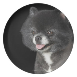 Black Pomeranian looking to the left Plate