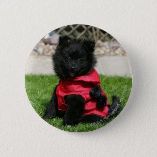 Black Pomeranian Puppy Looking at Camera 6 Cm Round Badge