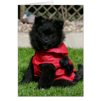 Black Pomeranian Puppy Looking at Camera Card
