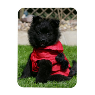 Black Pomeranian Puppy Looking at Camera Magnet