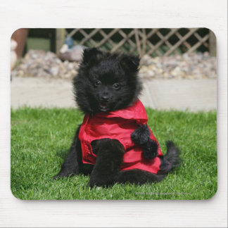 Black Pomeranian Puppy Looking at Camera Mouse Mat