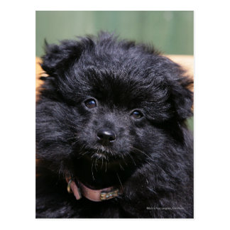 Black Pomeranian Puppy Postcard