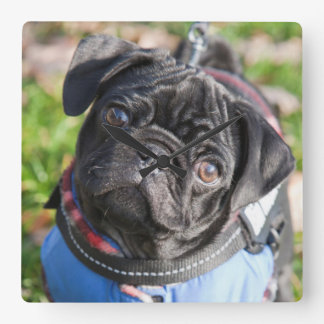 Black Pug Puppy Wearing A Jacket Clocks