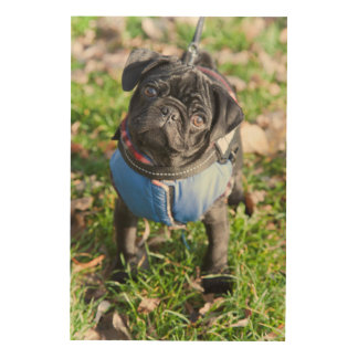 Black Pug Puppy Wearing A Jacket Wood Canvases