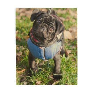 Black Pug Puppy Wearing A Jacket Wood Print