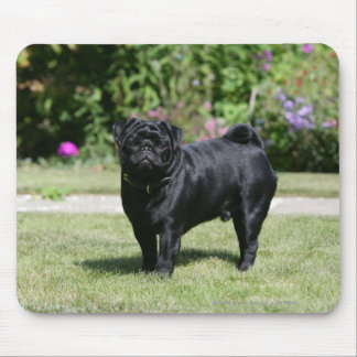 Black Pug Standing Looking at Camera Mouse Mat