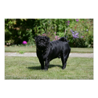 Black Pug Standing Looking at Camera Poster