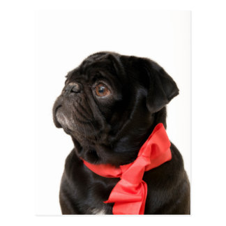 Black pug  with red bow postcard