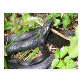 Black Racer Snake Sunning Postcards
