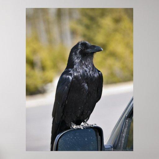 Black Raven - Fine Art Print