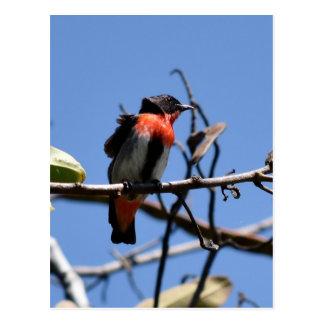 BLACK & RED FINCH RURAL QUEENSLAND AUSTRALIA POSTCARD