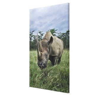 Black Rhinoceros, Diceros bicornis, Kenya Canvas Print