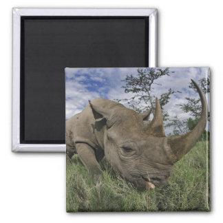 Black Rhinoceros, Diceros bicornis, Kenya Magnet