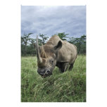Black Rhinoceros, Diceros bicornis, Kenya Photo Print