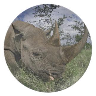 Black Rhinoceros, Diceros bicornis, Kenya Plate