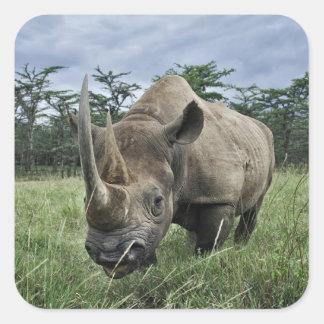 Black Rhinoceros, Diceros bicornis, Kenya Square Sticker