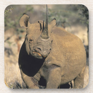 Black Rhinocerous, (Diceros bicornis), Northern Coaster