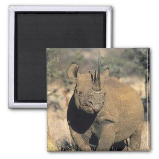 Black Rhinocerous, (Diceros bicornis), Northern Square Magnet