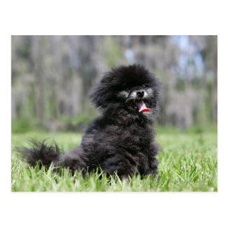 Black Senior Pomeranian Postcard
