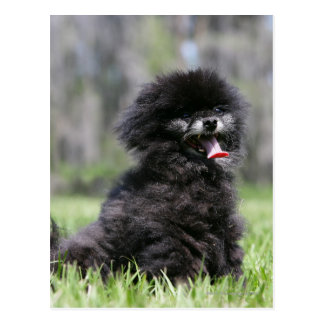 Black Senior Pomeranian Postcard