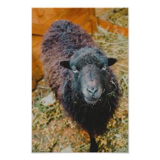 Black sheep photograph