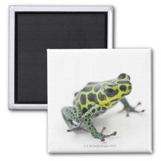 Black Spotted Green Poison Dart Frog Magnet