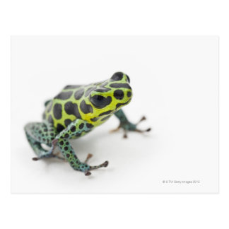 Black Spotted Green Poison Dart Frog Postcard