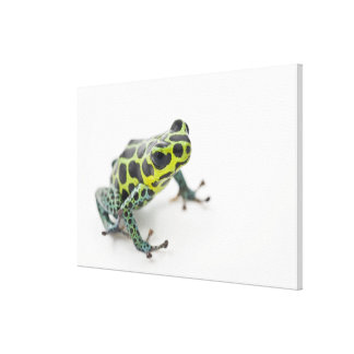 Black Spotted Green Poison Dart Frog (Ranitomeya Canvas Print