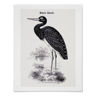 """Black Stork"" Vintage Illustration Poster"