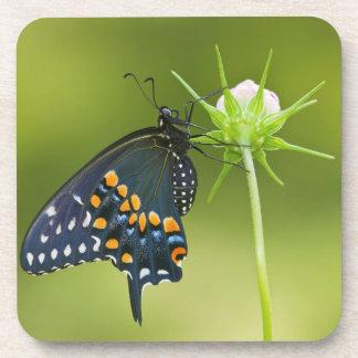 Black Swallowtail butterfly Coaster