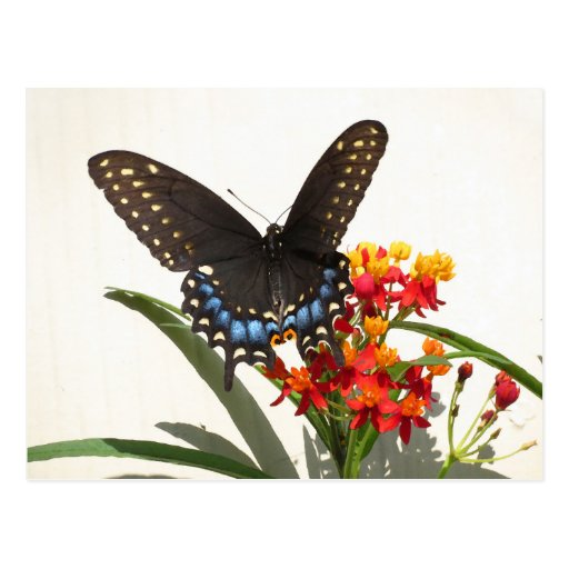 Black Swallowtail Butterfly Post Card