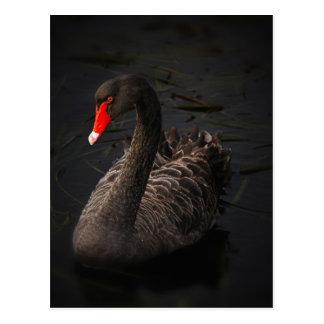 Black-swan-1229 Postcard