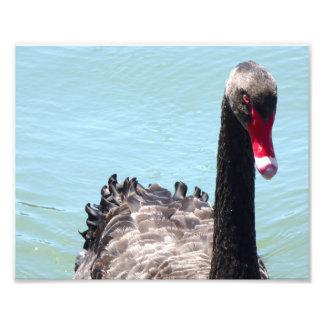 Black Swan Photo Print
