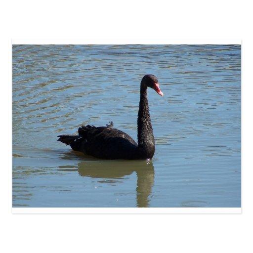 Black Swan Post Cards