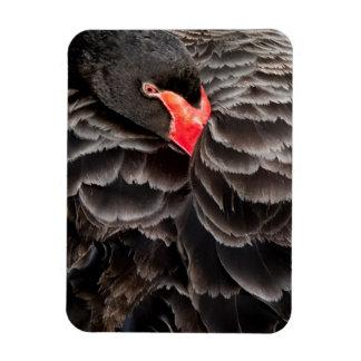 Black swan resting rectangular magnet