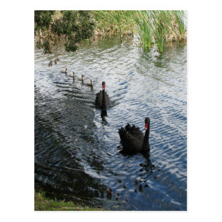 Black Swans, Perth Postcard