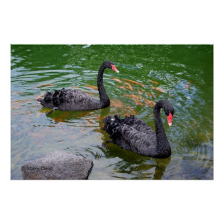Black Swans Posters
