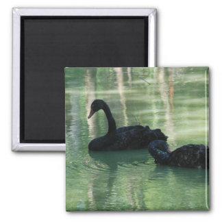 black swans square magnet