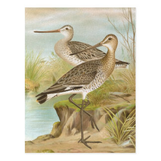 """""""Black-tailed and Bar-Tailed Godwits"""" Postcard"""