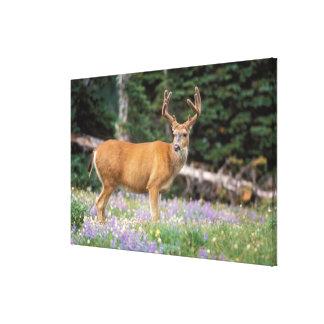 Black-tailed deer buck eating wildflowers gallery wrapped canvas
