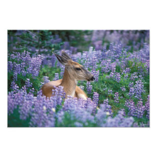 Black-tailed deer, doe resting in siky lupine, photo art