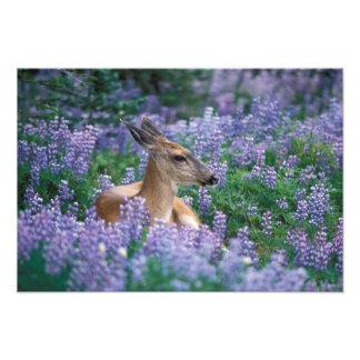 Black-tailed deer, doe resting in siky lupine, photo print
