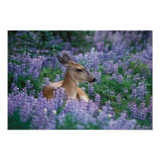 Black-tailed deer, doe resting in siky lupine, poster